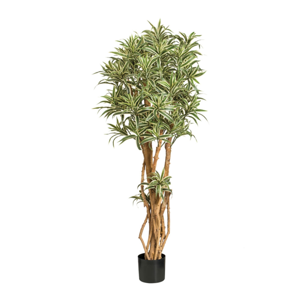 Indian Dracaena Tree