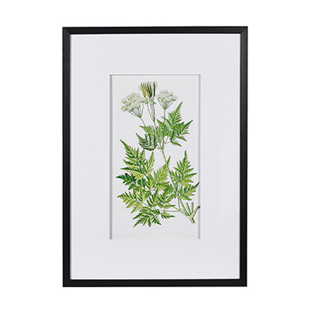 Sweet Cicely Fern Floral Picture