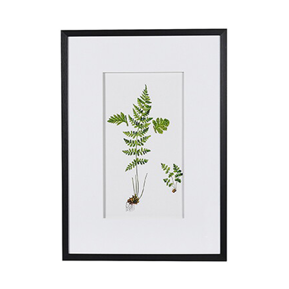 Woodsia Alpina Fern Floral Picture