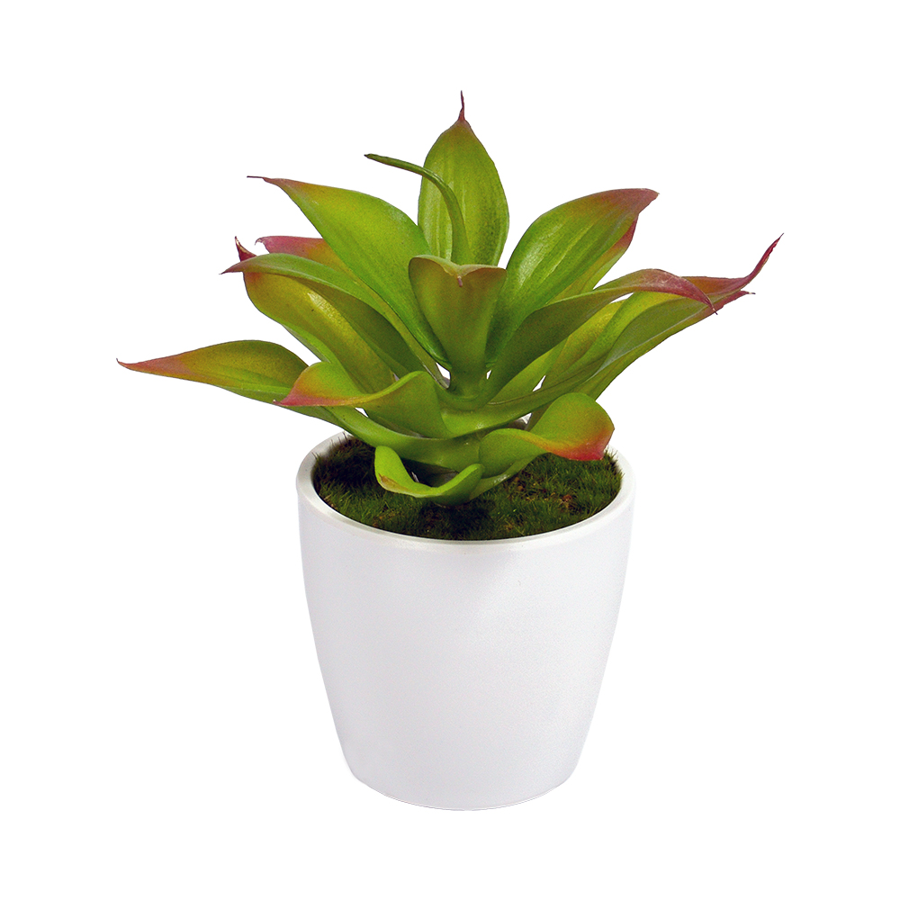 Large Succulent in white pot